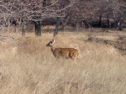 The spotted deer, or chital,