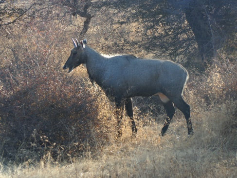 A nilgai, or blue bull.